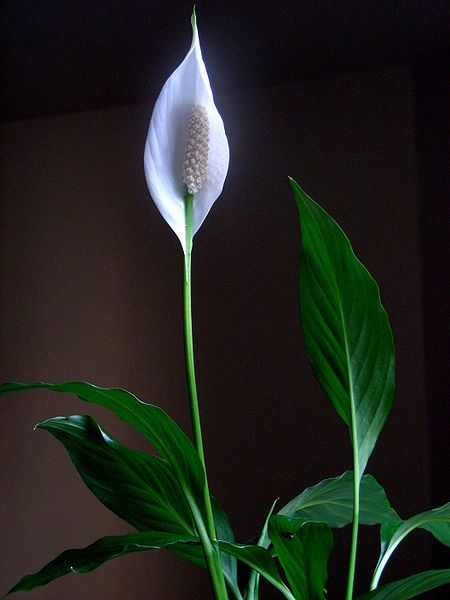 Incroyable 8 Best Plants To Grow Indoors Http://www.care2.com/. The PeaceLilies  FlowersWhite ...
