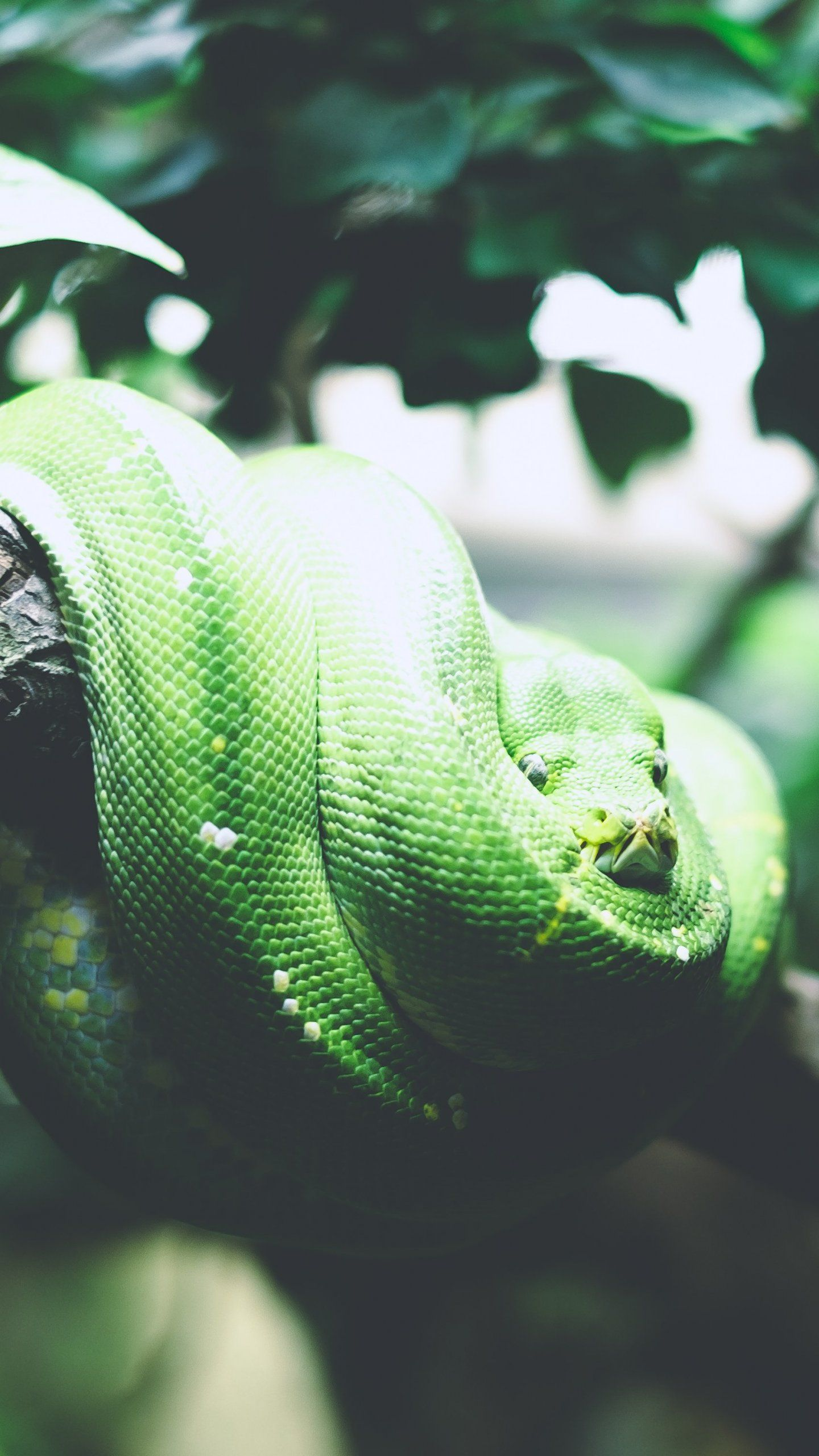 Tree Snake Wallpaper iPhone, Android & Desktop