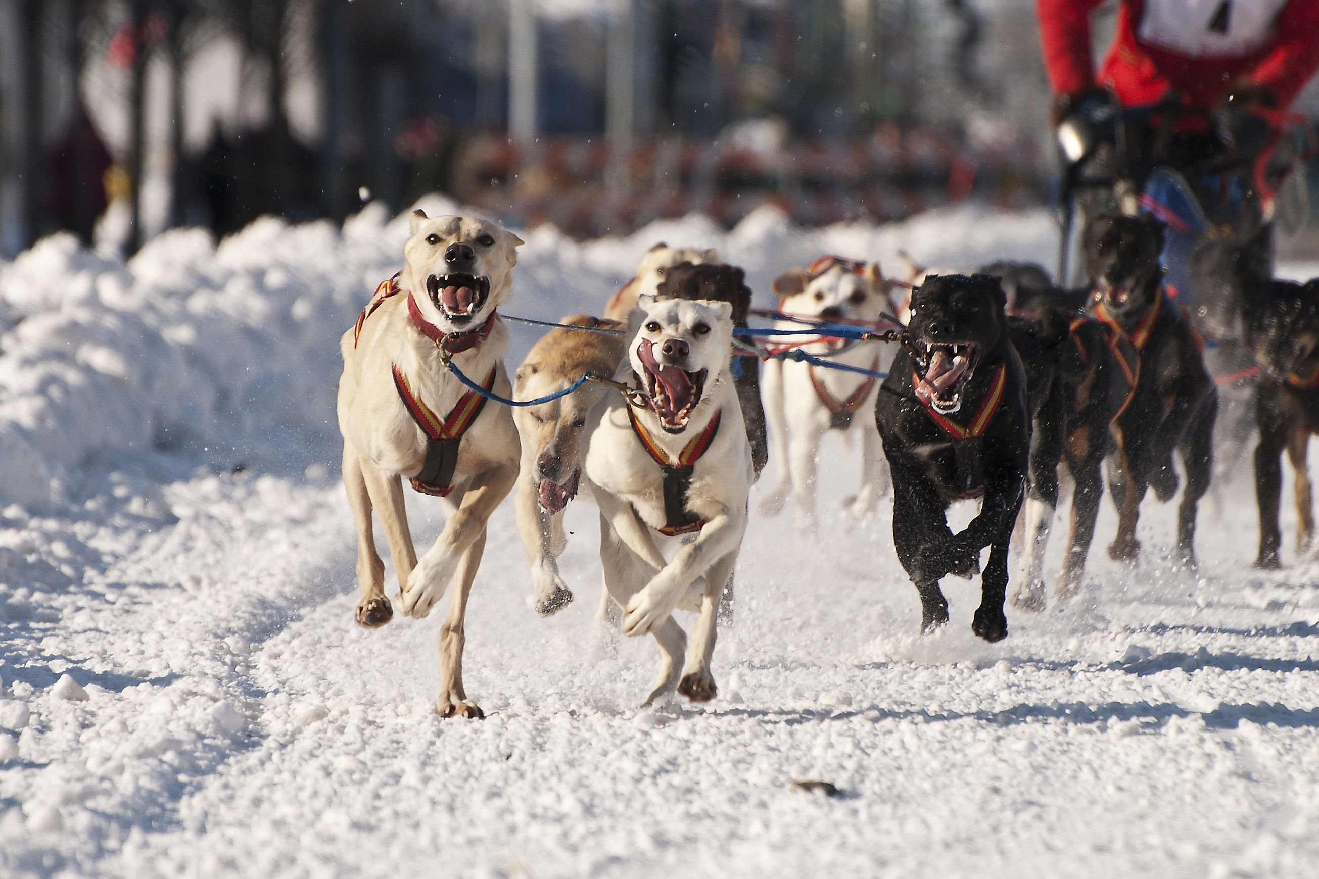 Happy Huskies Running In The World Championship Sled Dog Races