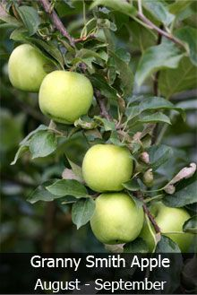 4 In 1 Apple Tree Fast Growing Trees Apple Tree Grafting Plants