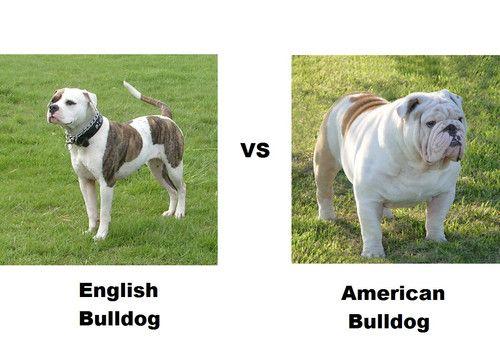 English Bulldog Vs American Bulldog American Bulldog American Bulldog Funny Bulldog Funny