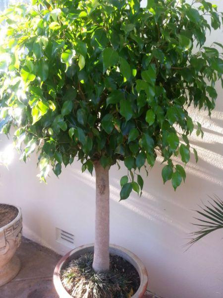 Ficus Tree Over 10 Years Old 100 Ea Plants Gumtree Australia Port Adelaide Area Clearview 1077909236 Ficus Tree Ficus Plants