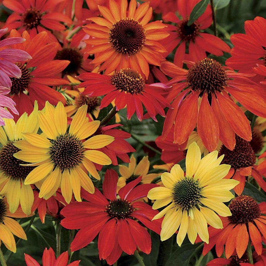 Echinacea Cheyenne Spirit Mix Perennial Plants Flower Landscape Echinacea