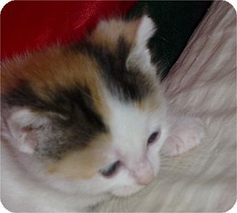 Indianapolis In Domestic Longhair Meet Iris A Kitten For Adoption Pet Adoption Pets