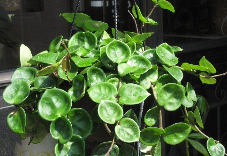 Hoya Carnosa Chelsea This Hoya Has Round Oval Heart Shaped Leaves