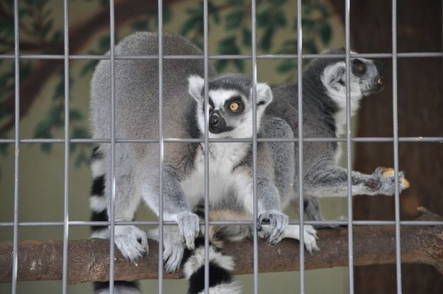 Yes there were lemurs at the Reinbeck Sheep and Wool Festival.  Don't ask.