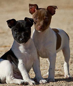 Rat Terrier Breed Info Pictures Characteristics Hypoallergenic No Terrier Breeds Rat Terrier Dogs Rat Terriers