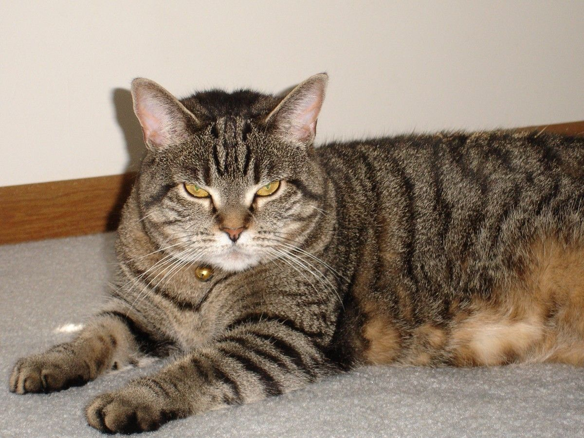 Striped Cat Breeds Cat Breeder Grey tabby cats, Tabby