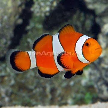 The Ocellaris Clownfish may be one of the aquarium industry's most popular marine fish. Its beautiful orange body dressed with white bands outlined in black instantly distinguishes the Ocellaris Clownfish.