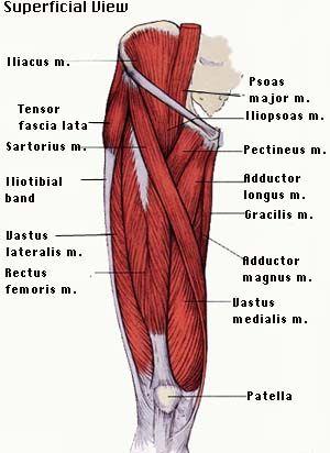 tensor fasciae latae adductor longus adductor magnus rectus femoris diagram