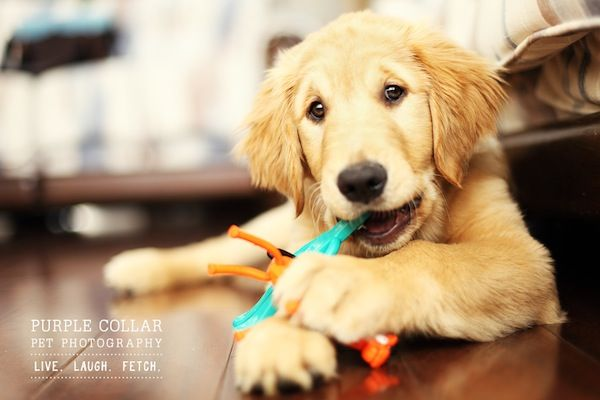 Purple Collar Pet Photography By Anthony Helton Puppy Chew Toys