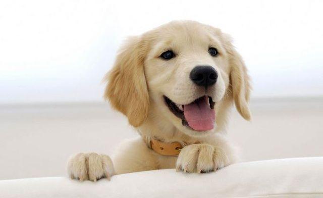 9 Weeks Old Bonnie Golden Retriever Labrador Retriever