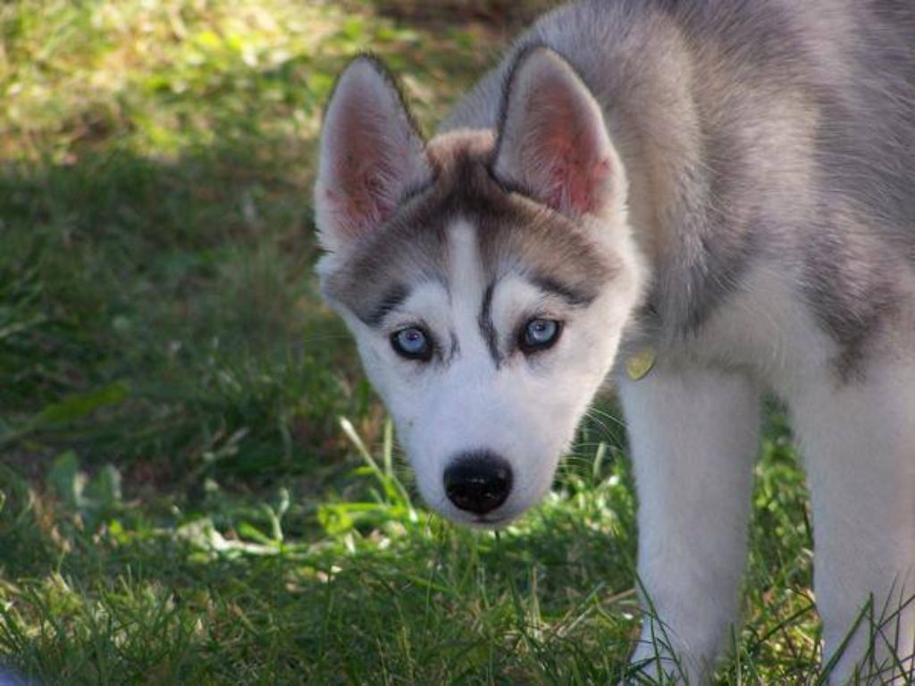 Love The Markings On The Face Husky Pinterest Husky Dogs And