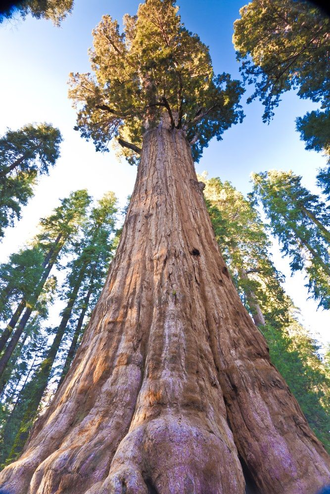Of About 25 000 Different Species Of Trees Worldwide Giant