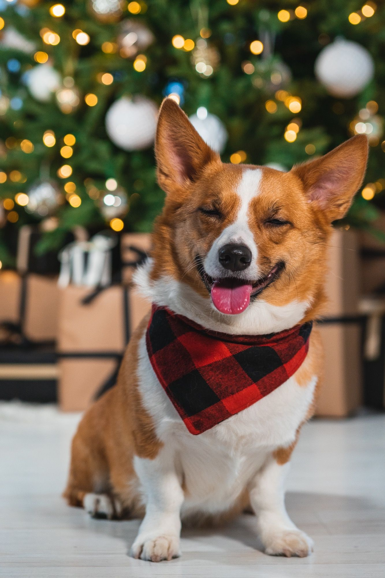 Merry Corgmas from Canada
