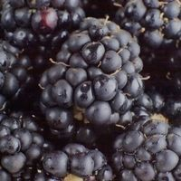 If you love the taste of blackberries but don't have the space required to grow them in your home landscape, container gardening may be the answer to your problem. Growing blackberries in a pot is simple, and the rich green foliage can make a lovely addition to your container garden. Sun-loving perennials, potted blackberries grow best when...