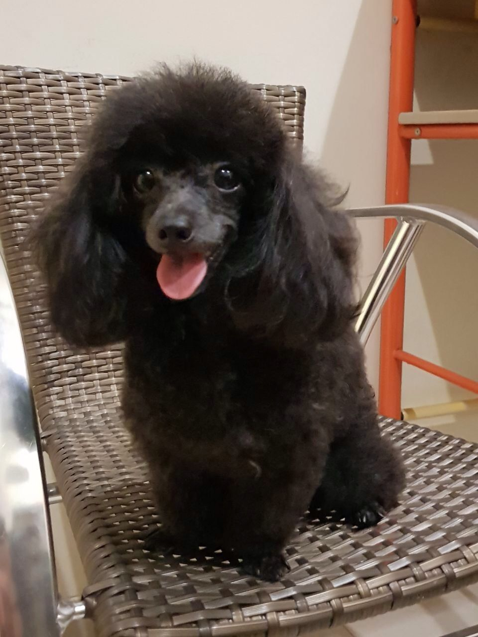 Stud Service Tiny Black Toy Poodle Anjing Poodle