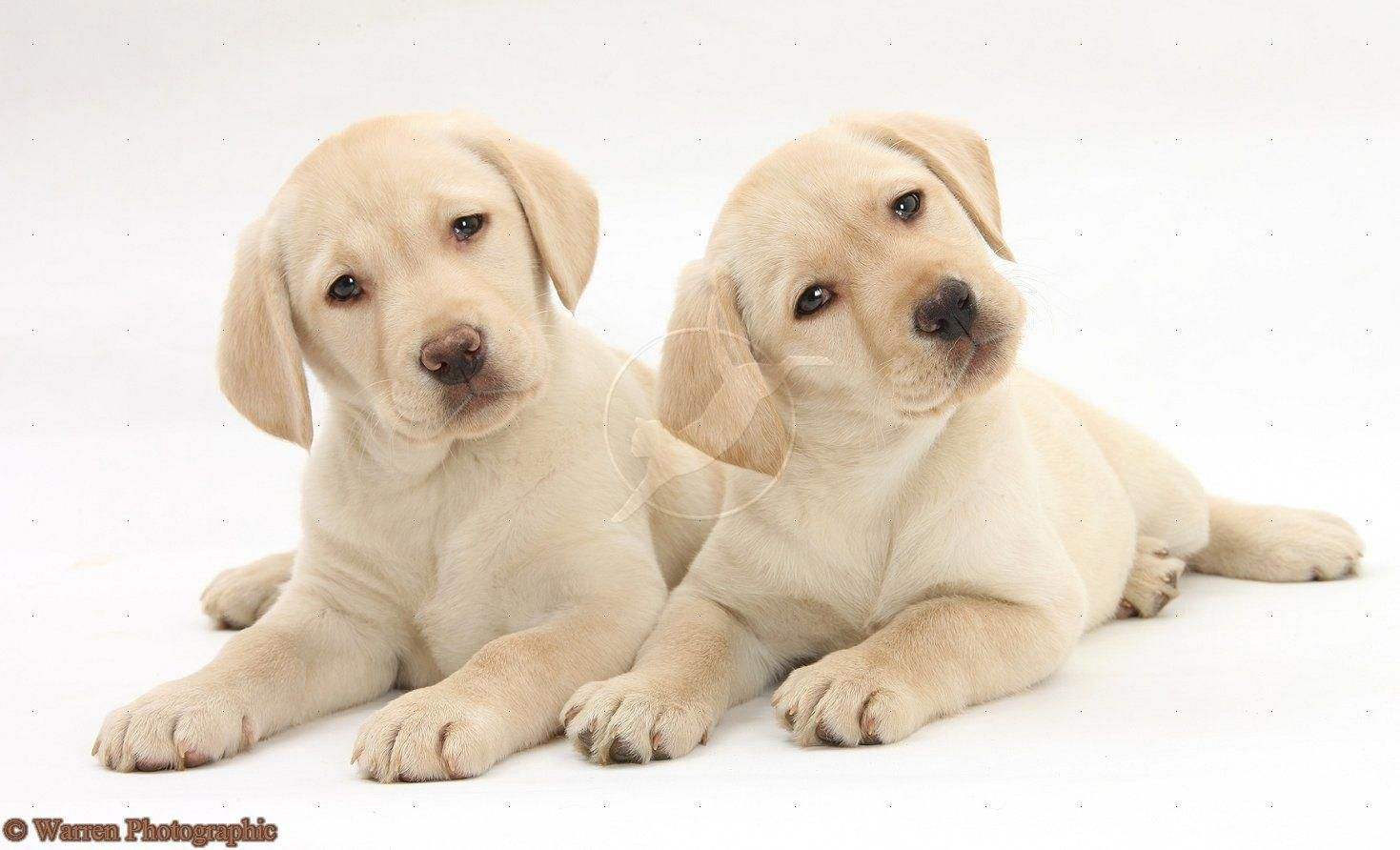 White Lab Dogs Yellow Labrador Retriever Puppies 9 Weeks Old