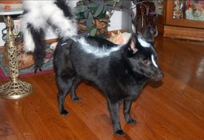 Black dog disguised as a skunk for Halloween #DogCostume #HalloweenDogs #Halloween