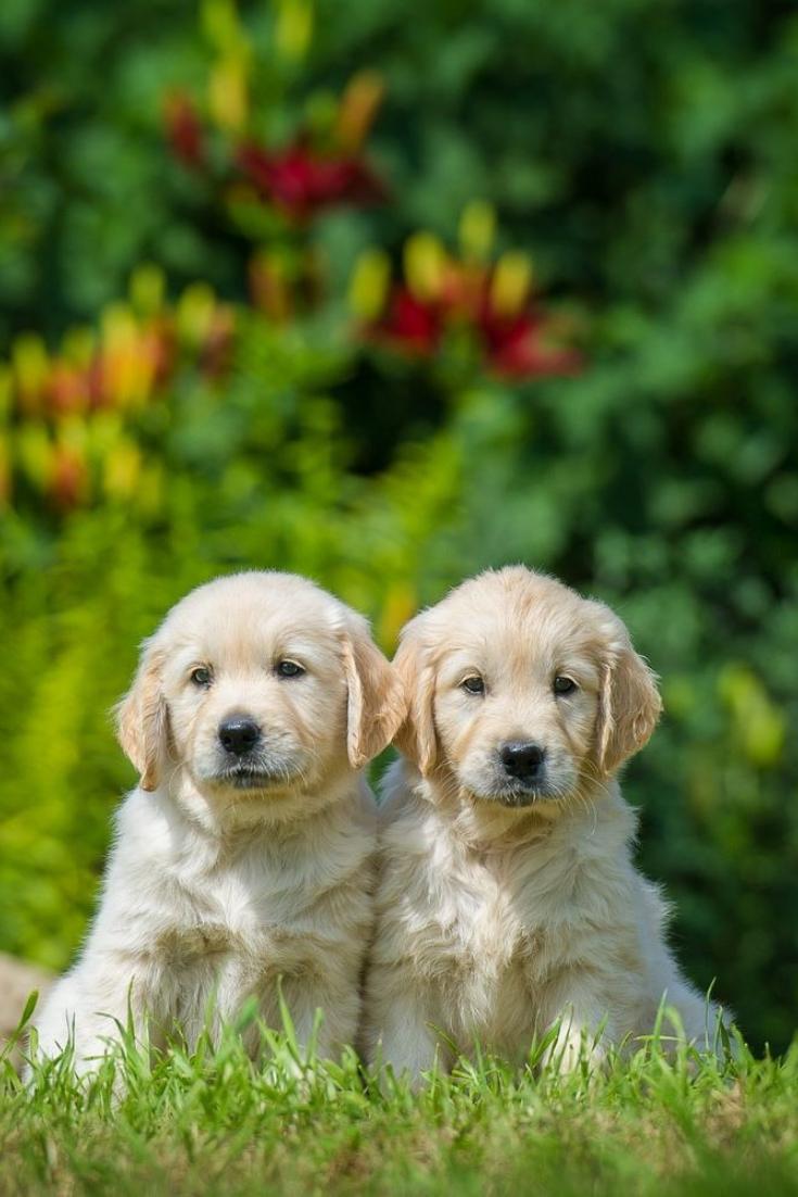 Two Happy Puppies Of Golden Retriever Goldenretriever Golden Retriever Retriever Happy Puppy
