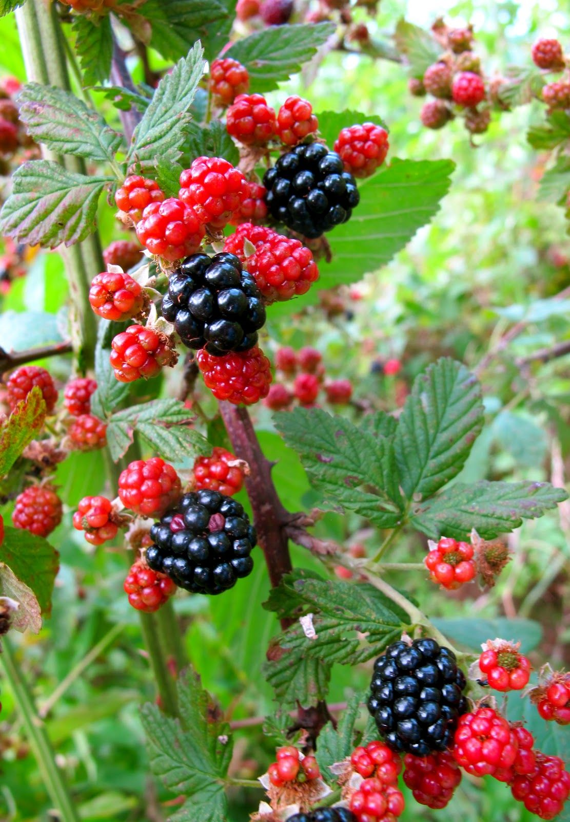 Blackberries Tree Images