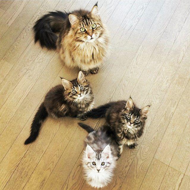 @higetoneko #catstocker