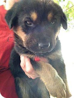 Townes The Rottweiler Mix Puppy Breed Australian Shepherd