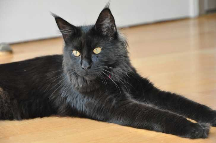 Maine Coon Kittens For Sale In Maryland