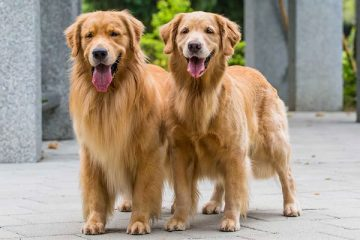 Do You Care To Find Out The Best Robot Vacuum For Golden Retriever Hair Do You Have A Golden Retriever At Home A In 2020 Golden Retriever Retriever Dog Hair Cleaning