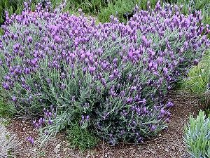 Spanish Lavender Grows Great In Arizona The Antiseptic Piney