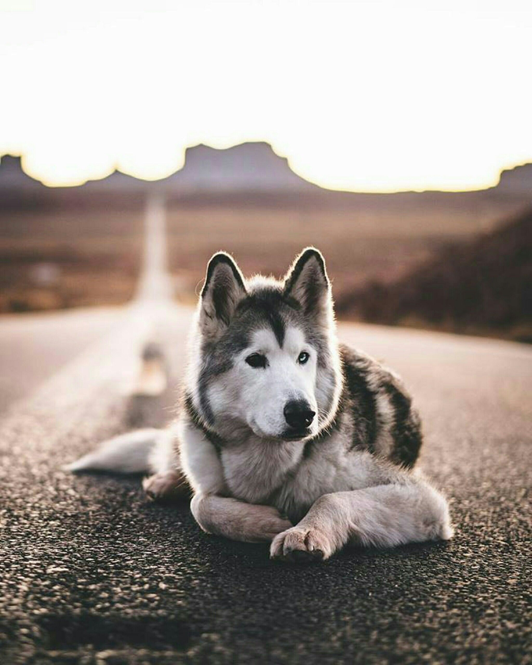 Pin By Lubna A Shaheen On Animals Siberian Husky Wolf Dog Wolf Husky