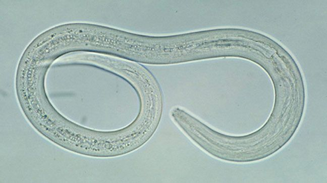 Hookworm Infections | Healthy Living | Hookworms in dogs