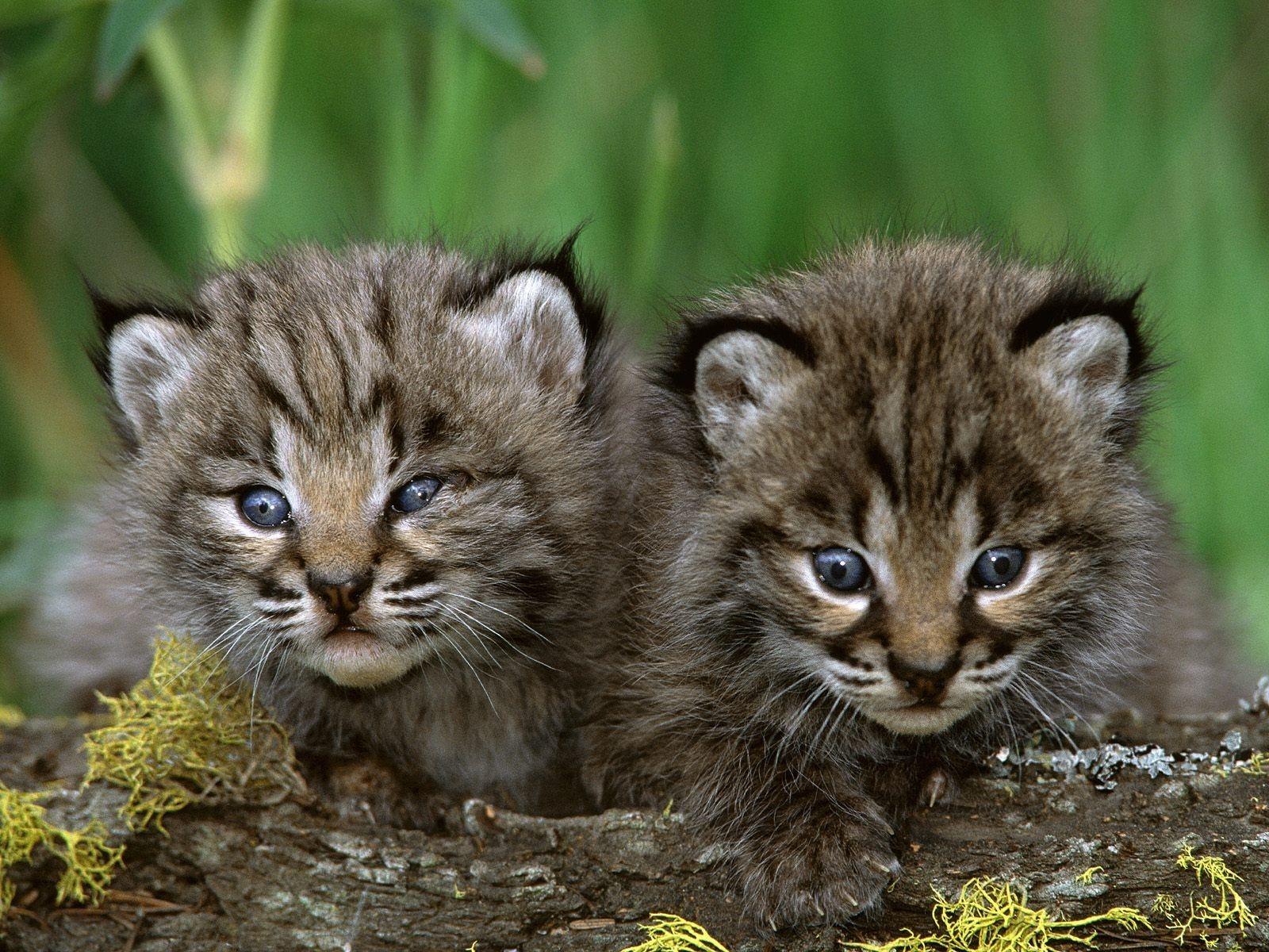 Little Cute Animals World Inside Pictures Cute Animals Cute Baby Animals Bobcat Kitten