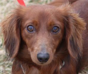 Adopt Noodle On Dog Sounds Adoptable Dachshund Dog Cute Dog Photos