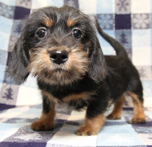 Super Cute Shih Tzu And Wiener Dog Mix Dogs Puppies Basic Dog