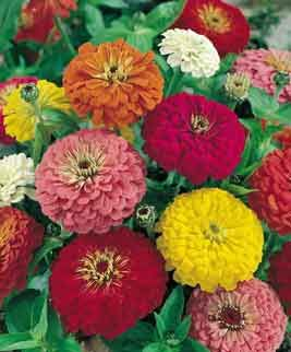 Zinnia California Giants Mixed Colors Seeds Of India Shop Seeds Of India Flower Seeds Heirlooms Flowers Annual Flowers
