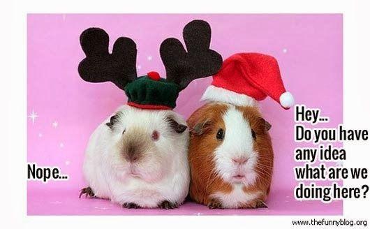 Christmas guinea pigs meme - Christmas Guinea Pigs Meme Best Guinea Pig Board Christmas Humor