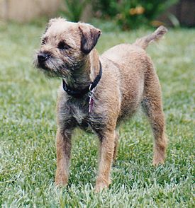Love The Border Terrier Border Terrier Border Terrier Puppy