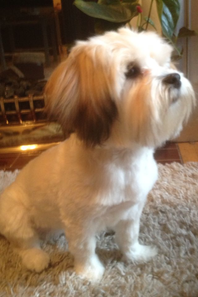 Kyi Leo Gaga After Her Groom Little Dogs Animals Dogs