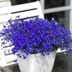 Image Result For Lobelia Hot Blue Garden And Landscape Garden