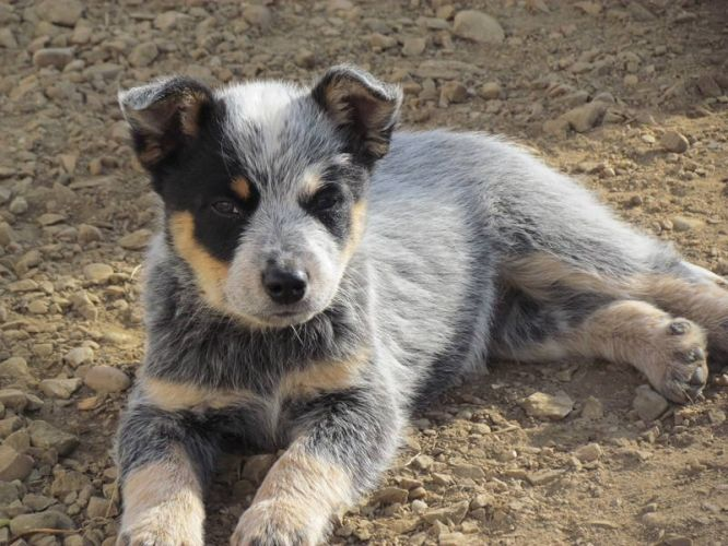 Pin By Lori Daniels On Puppies Are My Bes Fren S Blue Heeler Puppies Heeler Puppies Australian Cattle Dog Puppy