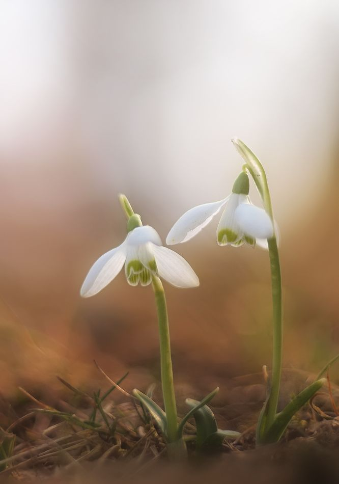 Snowdrops I Dream Of Growing These Beauties White Flowers Pretty Flowers Flowers