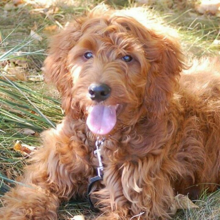 Irish Setter Poodle Mix He S So Cute