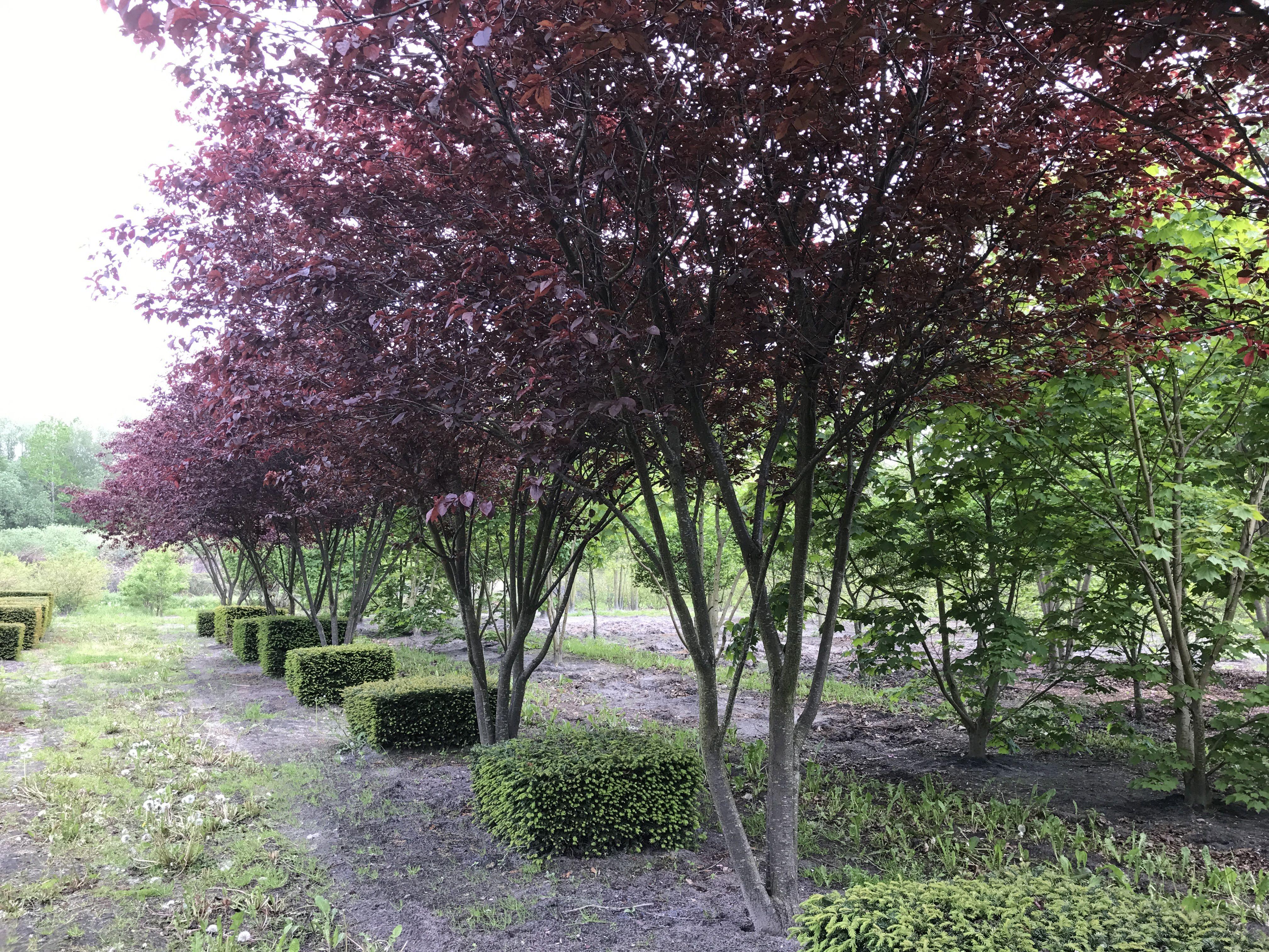 blodplommon prunus cerasifera 39 nigra 39 zon 2 3 h r. Black Bedroom Furniture Sets. Home Design Ideas