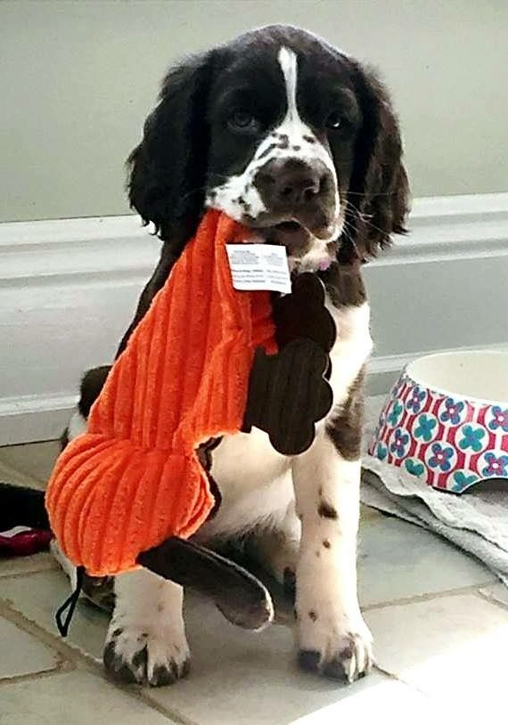 Pin By Victoria Grose On Awesome Cool Shit Springer Spaniel Spaniel Breeds English Springer Spaniel
