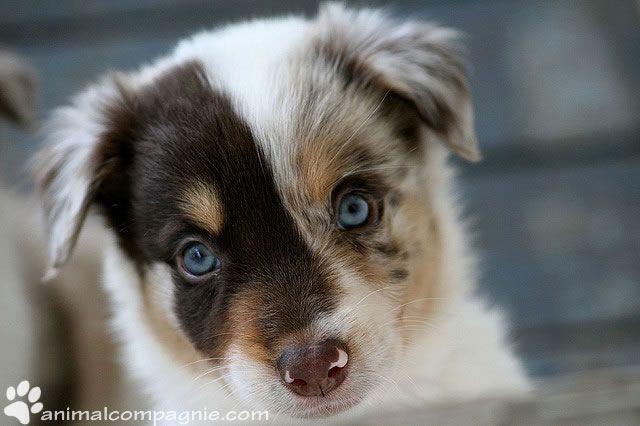 Pourquoi faire stériliser votre chienne  ? http://www.animalcompagnie.com/pourquoi-faire-steriliser-votre-chienne.html #chien