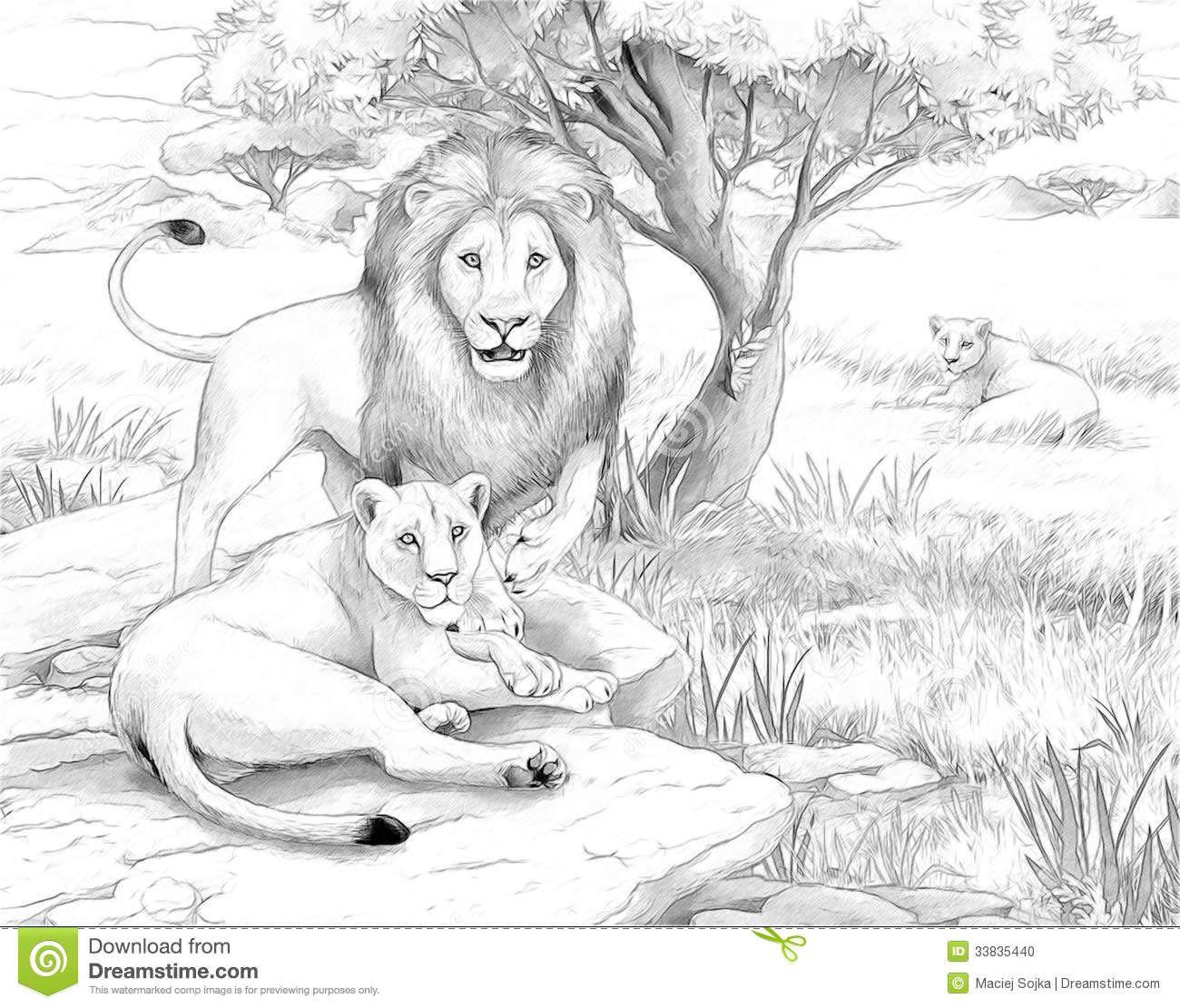 Safari Lions Lowen Malvorlagen Lowen Zeichnung Skizzen Von Tieren