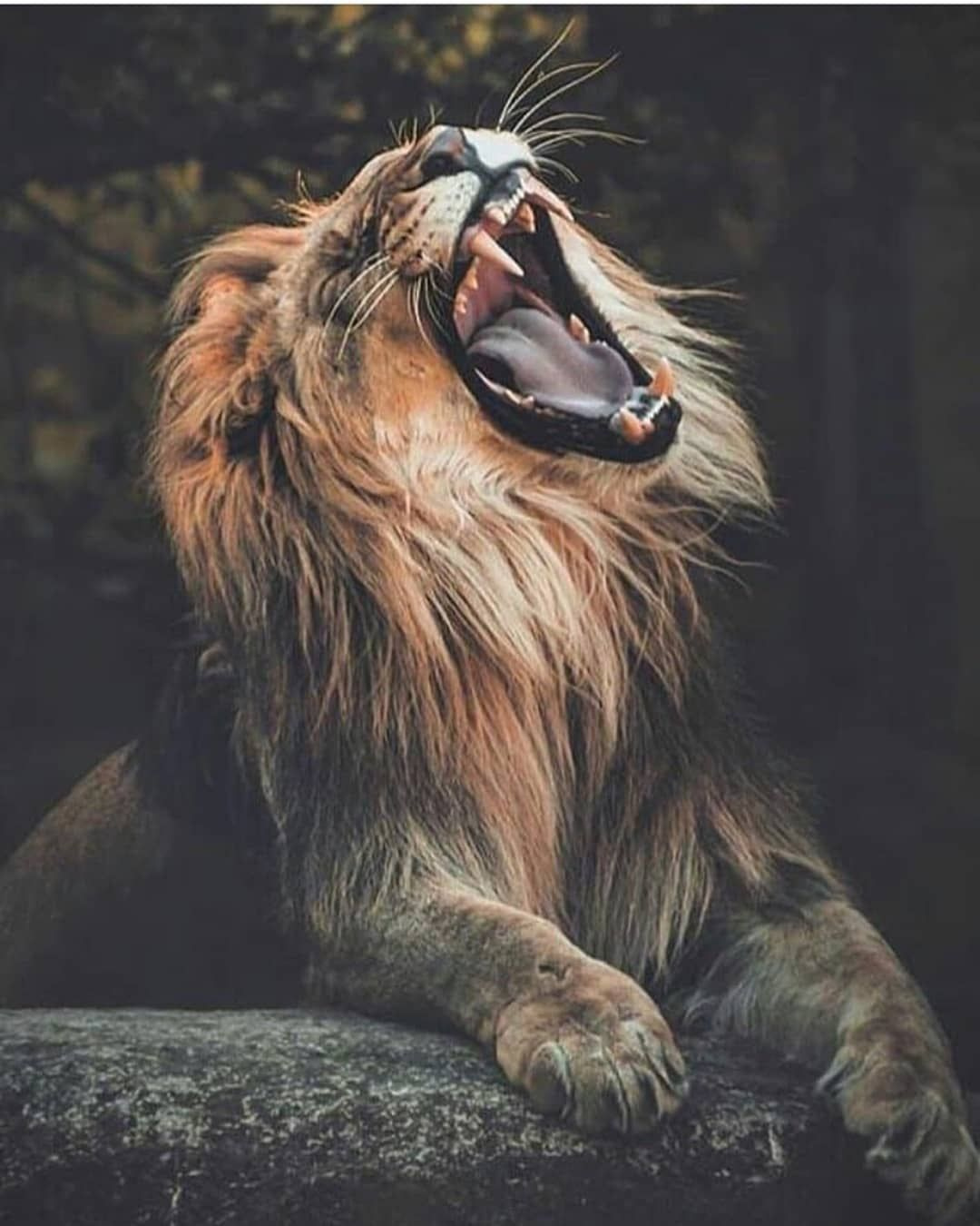 Did #you #know #that, #Lions #are #carnivorous, #and #they #usually #hunt #big #animals. #A #female #lion #needs #approximately #5 #kilograms #of #meat, #and #a #male #eats #about #7 #kilograms #of #meat #every #single #day #nature #theworld #world #water #sea #animals #wildanimals #earth #adorable #collors #clouds #sky #forest #wildlife #animalphotography #earthcapture #discovery #travel #traveler #lion #cat #Tap #livealifewith #to #see #the #posters!!! #: #animals.royal #livealifewith #for #mo
