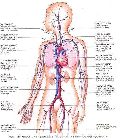 diagram of the human circulatory system - Google Search   Human ...