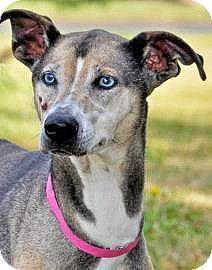 Spokane Wa Whippet Mix Meet Lucky A Dog For Adoption Http